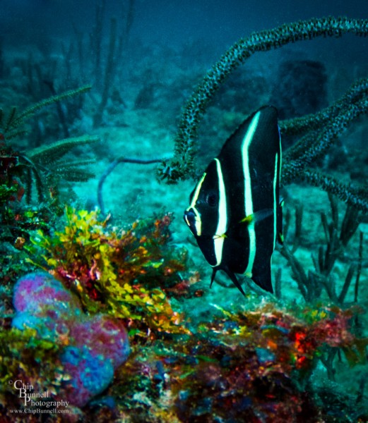 Chip Bunnell Photography Gray Angel Fish